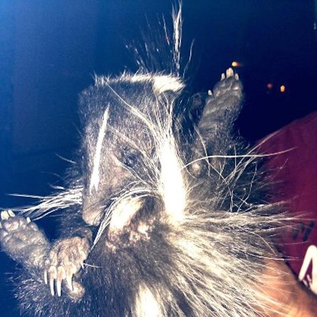 Skunk Crashes Mummers